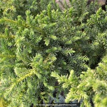 CRYPTOMERIA japonica 'Bandaï'