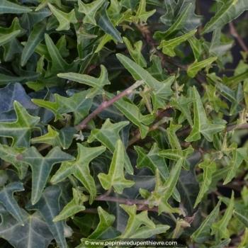 HEDERA helix 'Sagittifolia'