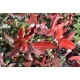 PHOTINIA x fraseri 'Red select'
