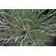 PINUS nigra ssp austriaca