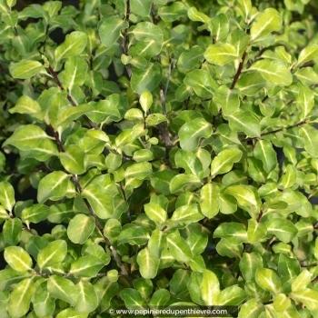 PITTOSPORUM tenuifolium 'Abbotsbury Gold'