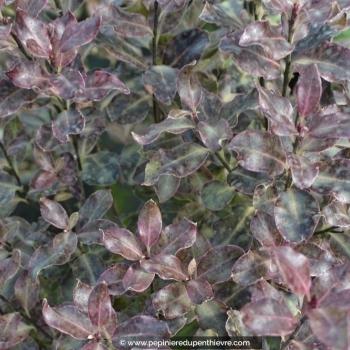 PITTOSPORUM tenuifolium 'Purpureum'