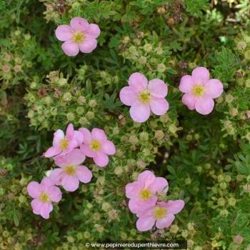 POTENTILLA fruticosa 'Lovely Pink'
