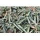 TRACHELOSPERMUM asiaticum 'Theta'