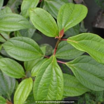VIBURNUM cinnamomifolium