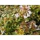 ABELIA x grandiflora 'Sunshine Daydream'®