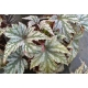 Begonia 'Garden Angel Silver' ®