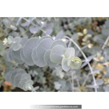 Eucalyptus pulverulenta 'Baby Blue'