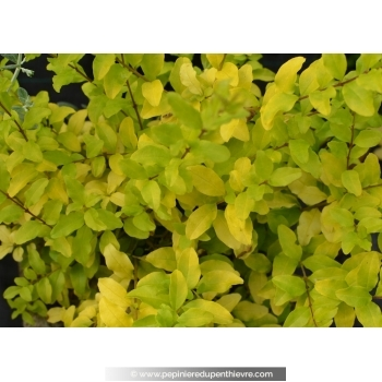 Ligustrum sinensis 'Lemon & Line' ®
