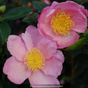 CAMELLIA sasanqua 'Plantation Pink' (4 ans)