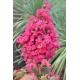 LAGERSTROEMIA indica 'Fuchsia d'été'® (rose fuchsia)