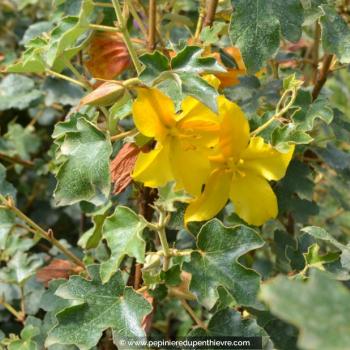 FREMONTODENDRON californicum 'California Glory'