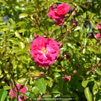 ROSA paysager 'Fairy Rood'