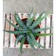 AGAVE xylonacantha blue