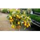Kumquat - FORTUNELLA margarita