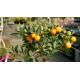 Kumquat - FORTUNELLA japonica