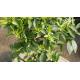 Mandarinier - CITRUS reticulata