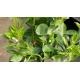 Oranger - CITRUS sinensis