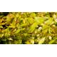 ABELIA x grandiflora 'Francis Mason'