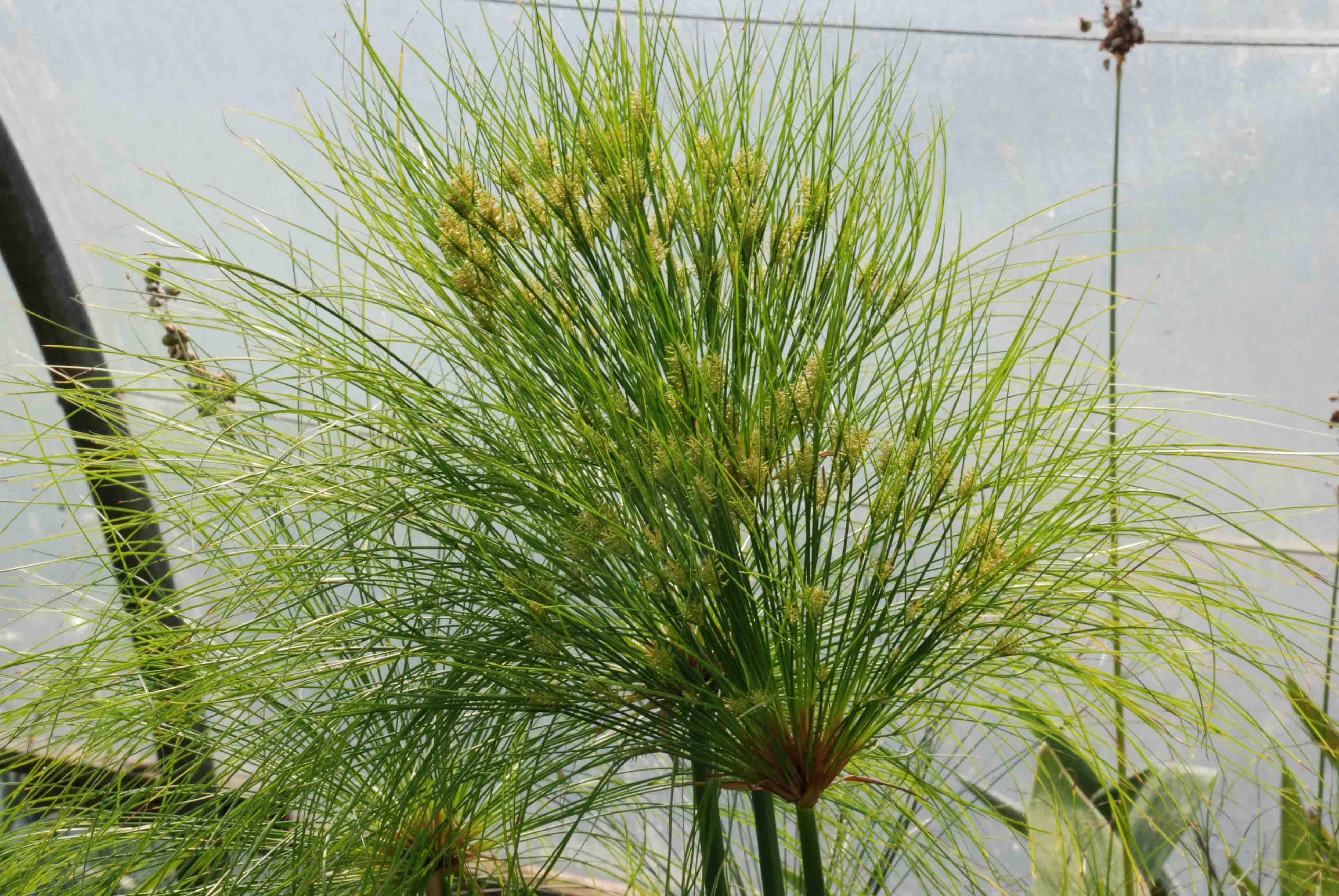 Фото растения папирус